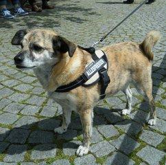 Hundemischling - Hund, Tier, Hunderasse, Mischling, Haushund, Haustier, Heimtier, Nutztier, Brustgeschirr, Leine