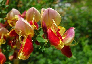 Ginsterblüten - Ginster, Schmetterlingsblütler, Genista, Blüte, gelb, rot
