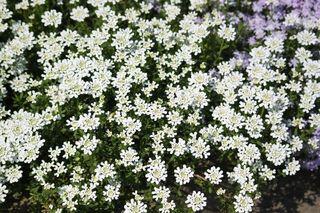 Immergrüne Schleifenblume - Schleifenblume, Kreuzblütengewächs, Zierstrauch, Zierpflanze, immergrün, Bodendecker, Bodenbegrüner, Steingartenpflanze, Steingarten, Steingärten