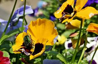 Rosenkäfer bei der Nahrungsaufnahme - Käfer, Rosenkäfer, Goldrosenkäfer, Insekt, Gliedertier, Blatthornhäfer, krabbeln, geschützt, glänzen, schillern, glänzend, Stiefmütterchen, Blüte