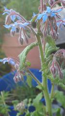 Borretsch - Borretsch, Borago, Rauhblattgewächse, Boraginaceae, Gewürzpflanze, Heilpflanze, Blüte, Kelchblätter
