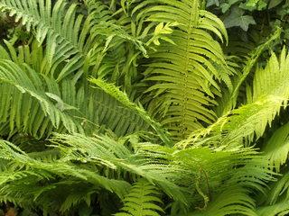 Farn #2 - Farn, Farnkraut, Garten, grün, Natur, Feuchtgebiet, Gefäßsporenpflanze, Wald, Sporen, Blätter