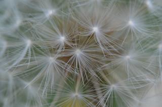 Was_ist_das - Pflanzen - Pusteblume, Löwenzahn, Samen, Schirmchen, Kuhblume, Früchte, Schirmflieger, Asternartige, Korbblütler
