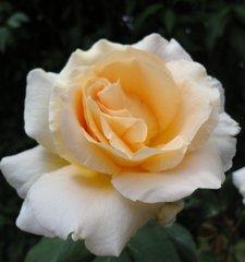 Rosenblüte, weiß - Rose, Blüte, blühen, weiß, Garten, Rosengewächs, Farbenvielfalt, Kulturpflanze, Zuchtform