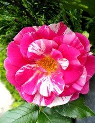 Rosenblüte, pink - Rose, Blüte, blühen, Garten, Zuchtform, Zierpflanze, pink, Duft