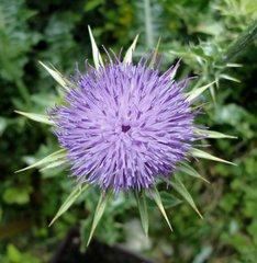 Blüte einer Distel - Distel, Korbblütler, stachelig, blau