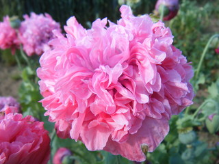 Mohn - Mohn, Blüte, Staubgefäß, Pollen, Klatschmohn, Papaver rhoeas