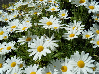 Margeriten - Margeriten, Garten, Wiese, Natur, Blumen, Korbblütler, Wiese, Wiesenblume, Margerite