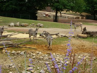 Zebras - Zebra, Zoo, Gehege, schwarz-weiß, Tier, gestreift, Savanne, Tarnung, Camouflage