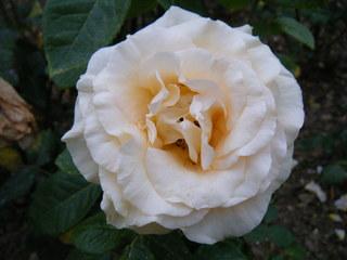 Rose - Rose, Schnittblume, Rosengewächs, Naturform, Draufsicht, Rosenblüte, Schnittblume, Blüte, Blume