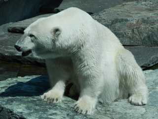 Eisbär - Eisbär, Bär, Polarregion, Nordpol, Arktis, Klimawandel, Verhalten, Zoo, Haltung, Einzelgänger, bedrohte Tierarten