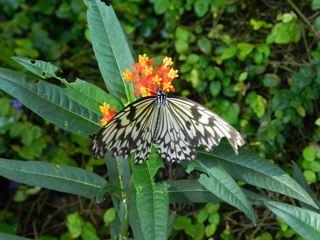Schmetterling Weiße Baumnymphe - Weiße Baumnymphe, Idea, Tagfalter, Edelfalter, Flügeladern, symmetrisch, Symmetrie, Schmetterling
