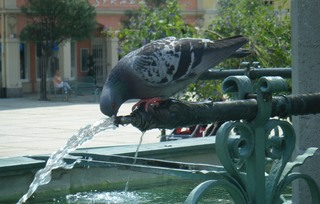 Taube beim Trinken - Taube, Stadttaube, Straßentaube, Taubenvögel