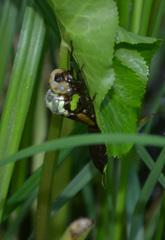 Libellenlarve - Schlüpfen Teil2 - Libelle, Larve, Libellenlarve, schlüpfen, blaugrün, Mosaikjungfer, Aeshna cyanea