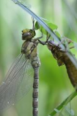 Libellenlarve - Schlüpfen Teil5 - Libelle, Larve, Libellenlarve, schlüpfen, blaugrün, Mosaikjungfer, Aeshna cyanea