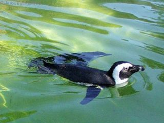 Schwimmender Pinguin im Wasser - Tiere, Vögel, Wildtiere, Zootiere, Pinguin, Schwimmen, Wassertier, Natur, Tier