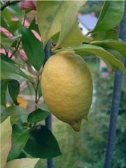 Zitrone - Zitrone, Zitrusfrucht, gelb, Frucht, Nahrungsmittel, Gewürz, Obst, Citrus, sauer, Vitamine