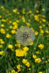 Pusteblume - Löwenzahnsamen, Garten, Natur, Blüte, Samenstand, gelb, Wiese, Löwenzahn