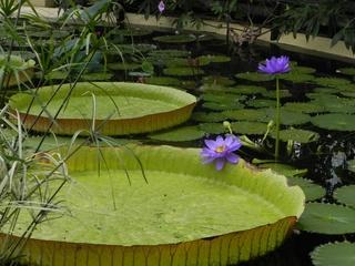 Seerose - Seerose, Blüte, Blatt, lila, Wasserpflanze, Schwimmblatt, Wasser