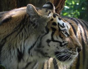 Tiger - Tiger, Wildkatze, Fell, Katze, Raubkatze, Raubtier, Zoo, Großkatze