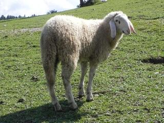 Schaf - Schaf, Wolle, weiß, Nutztier, Bauernhof