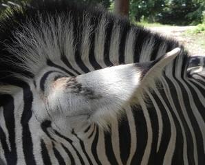 Was_ist_das#Tiere - Zebra, Tier, Ohr, hören, gestreift, schwarz-weiß, Muster, Tiermuster, Fell, Tierfell