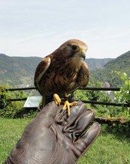 Falke auf der Hand - Falke, Greifvogel, Falknerei, jagen, wachsam, fliegen