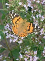 Distelfalter auf Oregano - Schmetterling, Tagfalter, Wanderfalter, Nymphalidae, Vanessa cardui, orange, Symmetrie, flattern, Oregano, Dost