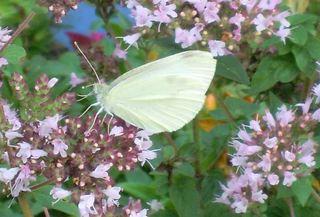 Großer Kohlweißling - Schmetterling, Tagfalter, Pieris brassicae, Weißling, weiß, Oregano, Dost, Schädling