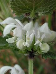 Weiße Taubnessel 2 - Weiße Taubnessel, Lamium album, Lippenblütengewächse, Lamiaceae, Wildkräuter