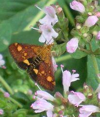Purpurroter Zünsler - Schmetterling, Falter, Crambidae, Oregano
