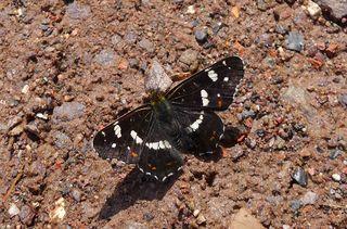 Schmetterling - Landkärtchen, Schmetterling