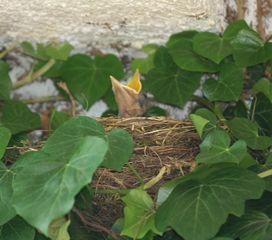Jungamsel #3 - Amsel, kleiner Vogel, junger Vogel, Vogel, Jungvogel, jung, Nestling, Futter