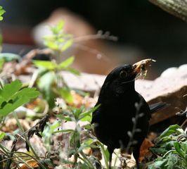 Amsel - Amsel, Futter, Vogel
