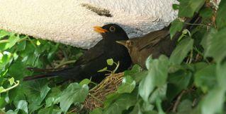 Amseln - Amsel, Vogel, Standvogel, Nest, Nestbau
