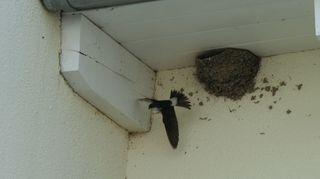 Mehlschwalben #1 - Mehlschwalben, Vogel, Nest, Brutpflege