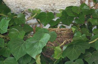 Amselnest - Nest, Amsel, Tarnung, versteckt, Bau, Brutstätte