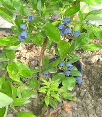Heidelbeeren - Heidelbeere, Blaubeere, Kulturheidelbeere, Zucht, Strauch, blau, Frucht, Obst, Beeren, reif