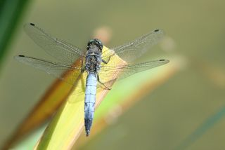 Großer Blaupfeil #1 - Libelle, Sommer, fliegen, Flügel, Hautflügel, Insekten, Gliederfüßler, Insekt, Flügelpaar, Gewässer, Großer Blaupfeil, Orthetrum cancellatum