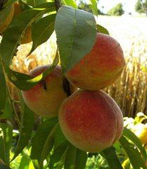 Pfirsiche - Obst, Pfirsich, Steinobst, Rosengewächs, Frucht, unreif