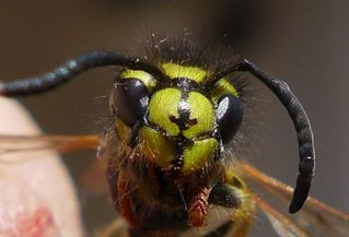 Wespenkopf - Insekt, Insekten, Wespe, Körperteile, Kopf, Fühler
