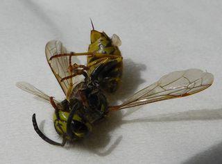 Wespe - Insekt, Insekten, Wespe, Körperteile, Flügel, Stachel