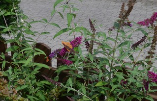 Schmetterlinge - 4 auf einen Streich - Schmetterling, Schmetterlinge, Tagfalter, kleiner Kohlweißling, kleiner Fuchs, Kaisermantel, Tagpfauenauge, Blüte, Blume