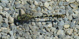 Kleine Zangenlibelle - Libelle, Zangenlibelle, Flussjungfer, fliegen, Flügel, Hautflügel, Biologie, Insekten, Gliederfüßer, Insekt, Flügelpaar, Gewässer