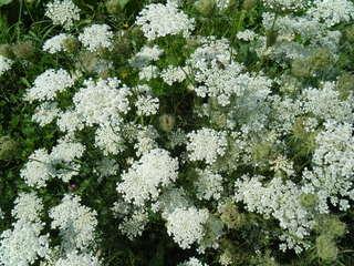 Schafgarbe - Achillea millefolium, Kräuter, Pflanzen, Blumen, Blüten, Schafgarbe, weiß, Korbblüte, Dolde, Heilpflanze