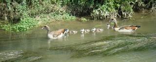 Nilgänse #1 - Gans, Nilgans, Vogel, Entenvogel, Schnabel, Halbgans, Küken, Jungvögel