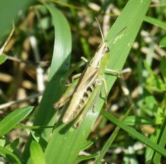 Heuschrecke - Heuschrecke, Insekt, Blatt, Tier, Langfühlerschrecken, Kurzfühlerschrecken