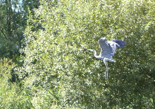 Graureiher - Gefieder, Standvogel, Schreitvogel, grau, Fischreiher