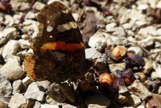 Admiral - Schmetterling - Schmetterling, Falter, Tagfalter, Edelfalter, Nymphalidae, Vanessa atalanta