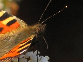 kleines Monster - Insekten, Schmetterlinge, Falter, Körper, Körperteile, Rüssel, Fühler, Augen, Flügel